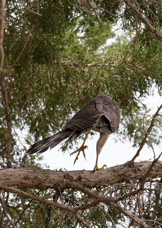 Cooper's Hawk Courtship Display - 13