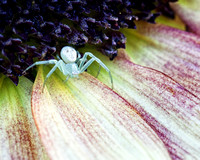 Crab Spider on Sunflowers