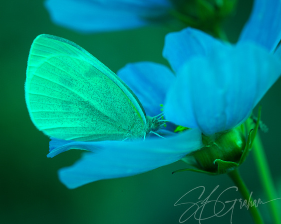 Nature: Butterfly on Cosmos, Severe Protanopia